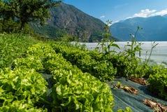 Οργανικές συγκομιδές σαλάτας στη Γαλλία Στοκ εικόνα με δικαίωμα ελεύθερης χρήσης