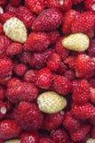 Οργανική άγρια φράουλα Στοκ φωτογραφίες με δικαίωμα ελεύθερης χρήσης