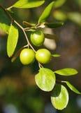 Οργανική γεωργική γη, jujuba Ziziphus, κόκκινη ημερομηνία, κινέζικα, Κορεάτης, ή ινδική ημερομηνία Στοκ Εικόνα