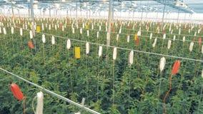 Οργανική καλλιέργεια των φυσικών και φρέσκων λαχανικών Οι εμπλεγμένες λόχμες των ντοματών αυξάνονται σε μια πρασινάδα απόθεμα βίντεο
