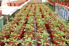Οργανική καλλιέργεια πιπεριών στοκ εικόνες με δικαίωμα ελεύθερης χρήσης