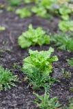Οργανική κηπουρική, νέα φύλλα της σαλάτας μαρουλιού και του pla arugula Στοκ εικόνα με δικαίωμα ελεύθερης χρήσης