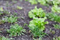 Οργανική κηπουρική, νέα φύλλα της σαλάτας μαρουλιού και του pla arugula Στοκ Εικόνες