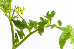 οργανική ντομάτα φυτών απομόνωσης Στοκ φωτογραφία με δικαίωμα ελεύθερης χρήσης