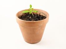 οργανική ντομάτα φυτών Στοκ Εικόνες