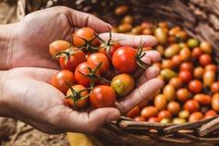 οργανική ντομάτα Χέρια με τις πρόσφατα συγκομισμένες ντομάτες Στοκ φωτογραφίες με δικαίωμα ελεύθερης χρήσης