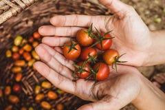 οργανική ντομάτα Χέρια με τις πρόσφατα συγκομισμένες ντομάτες στοκ εικόνες