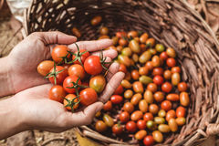 οργανική ντομάτα Χέρια με τις πρόσφατα συγκομισμένες ντομάτες στοκ εικόνα