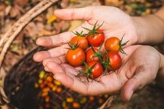 οργανική ντομάτα Χέρια με τις πρόσφατα συγκομισμένες ντομάτες Στοκ εικόνες με δικαίωμα ελεύθερης χρήσης
