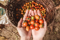 οργανική ντομάτα Χέρια με τις πρόσφατα συγκομισμένες ντομάτες Στοκ φωτογραφία με δικαίωμα ελεύθερης χρήσης