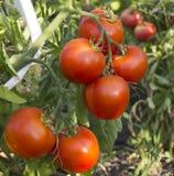 οργανική ντομάτα Στοκ Εικόνα