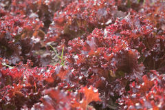 Οργανική σαλάτα λαχανικών Κόκκινο κοράλλι στον κήπο κατωφλιών Στοκ φωτογραφία με δικαίωμα ελεύθερης χρήσης