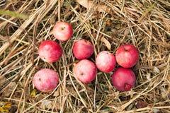 Οργανική συγκομιδή μήλων, προϊόντα νωπών καρπών Αγροτικά τρόφιμα γεωργίας στοκ εικόνες με δικαίωμα ελεύθερης χρήσης