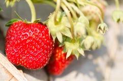 οργανική φράουλα Στοκ Φωτογραφία