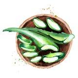 Οργανική Aloe απεικόνιση άποψης της Βέρα τοπ Χέρι Watercolor που σύρεται compositionÑŽ Διανυσματική απεικόνιση