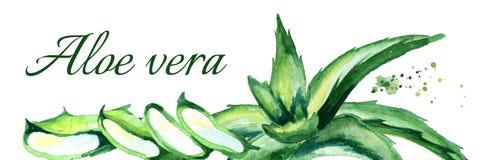 Οργανική Aloe οριζόντια απεικόνιση της Βέρα Συρμένο χέρι watercolor Απεικόνιση αποθεμάτων