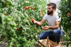 Οργανικός αγρότης που ελέγχει τις ντομάτες του σε ένα θερμοκήπιο στοκ εικόνες