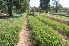 Οργανικός, γεωργία, αγρόκτημα, ρύζι, ταϊλανδικοί αγρότες, alatus Dipterocarpus Στοκ Φωτογραφίες