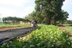 Οργανικός, γεωργία, αγρόκτημα, ρύζι, ταϊλανδικοί αγρότες, alatus Dipterocarpus Στοκ Φωτογραφία