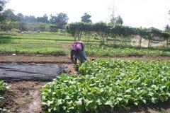 Οργανικός, γεωργία, αγρόκτημα, ρύζι, ταϊλανδικοί αγρότες, alatus Dipterocarpus Στοκ φωτογραφία με δικαίωμα ελεύθερης χρήσης