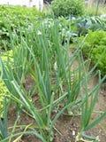 Οργανικός κήπος κρεμμυδιών στοκ φωτογραφίες