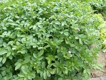 Οργανικός κήπος πατατών στοκ φωτογραφία με δικαίωμα ελεύθερης χρήσης