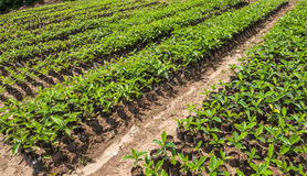 Οργανικός καφές Finca, Ισημερινός στοκ εικόνες με δικαίωμα ελεύθερης χρήσης