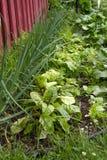 Οργανικός μικρός φυτικός κήπος Στοκ εικόνα με δικαίωμα ελεύθερης χρήσης