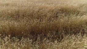 Οργανικός τομέας σίτου eco χρυσός που απομονώνεται στον αέρα απόθεμα βίντεο