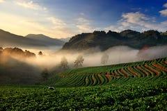 Οργανικός τομέας φραουλών στο πεζούλι, ANG Khang, Chiang Mai Doi, Στοκ Εικόνες
