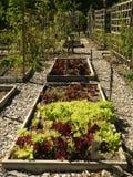 Οργανικός φυτικός κήπος: αυξημένο μαρούλι κρεβατιών Στοκ Εικόνες