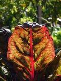 Οργανικός φυτικός κήπος: ηλιοφώτιστο κόκκινο chard φύλλο στενό Στοκ Εικόνα