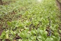 Οργανικός φυτικός κήπος στην Ταϊλάνδη Στοκ Εικόνα