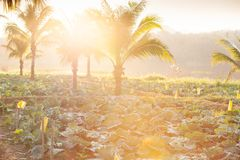 Οργανικός φυτικός τομέας καλλιέργειας Φρέσκο λάχανο με την καρύδα στοκ φωτογραφία