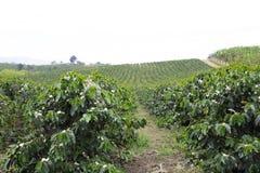Οργανικό άνθος δέντρων καφέ στοκ φωτογραφία με δικαίωμα ελεύθερης χρήσης