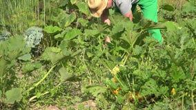 Οργανικό άτομο αγροτών που κόβει το ώριμο λαχανικό κολοκυθιών στον τομέα closeup 4K φιλμ μικρού μήκους