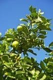 Οργανικό δέντρο λεμονιών Στοκ εικόνα με δικαίωμα ελεύθερης χρήσης