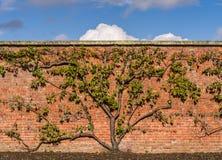 Οργανικό δέντρο πράσινων δαμάσκηνων Στοκ Εικόνα