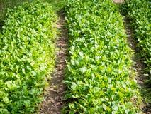 Οργανικό αγρόκτημα λάχανων Στοκ Εικόνες