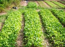 Οργανικό αγρόκτημα λάχανων Στοκ εικόνα με δικαίωμα ελεύθερης χρήσης