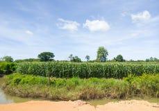 Οργανικό αγρόκτημα καλαμποκιού κοντά στο κανάλι άρδευσης στοκ φωτογραφία με δικαίωμα ελεύθερης χρήσης