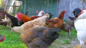 οργανικό αγρόκτημα κοτόπουλου, εσωτερικός τομέας καλλιέργειας ζωικού κεφαλαίου νεοσσών, πράσινη χλόη φιλμ μικρού μήκους