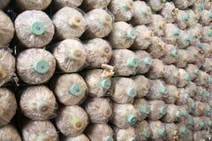Οργανικό αγρόκτημα μανιταριών, μανιτάρια που αυξάνεται σε ένα αγρόκτημα Στοκ Εικόνες