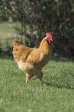 Οργανικό ελεύθερο κοτόπουλο σειράς στοκ εικόνα