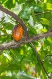 Οργανικό κακάο Theobroma λοβών φρούτων κακάου στη φύση Στοκ Φωτογραφίες