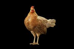 Οργανικό κοτόπουλο που απομονώνεται στο μαύρο υπόβαθρο Στοκ Εικόνα