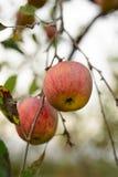 Οργανικό μήλο Fuji στοκ εικόνα