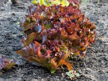 Οργανικό μαρούλι Lollo Rosso Στοκ Εικόνες