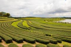 Οργανικό τσάι Στοκ φωτογραφίες με δικαίωμα ελεύθερης χρήσης