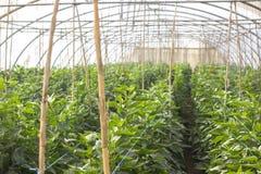 Οργανικό υδροπονικό φυτικό αγρόκτημα καλλιέργειας στην επαρχία, κοιλάδα της Ιορδανίας Στοκ εικόνες με δικαίωμα ελεύθερης χρήσης